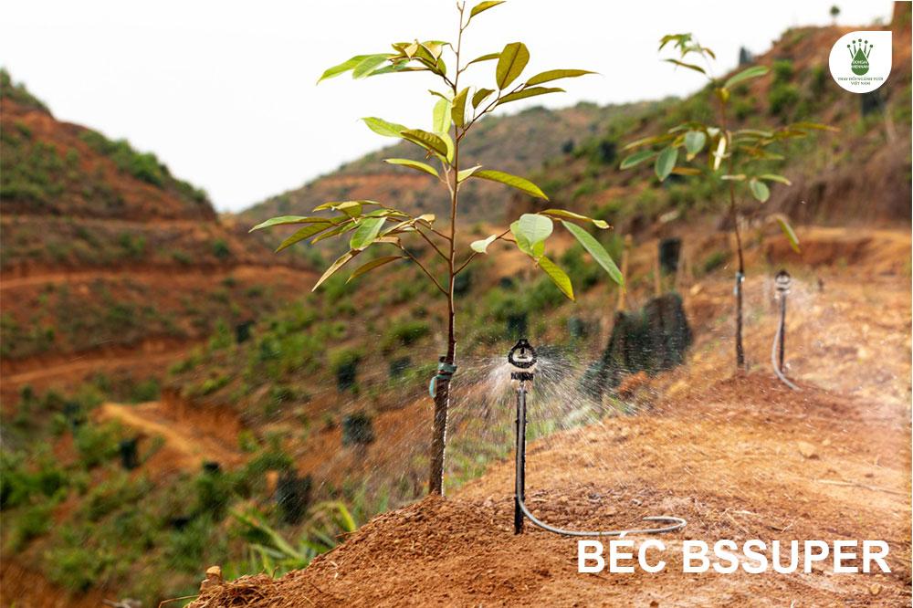 Béc bù áp BSSUPER tưới cho cây sầu riêng mới trồng