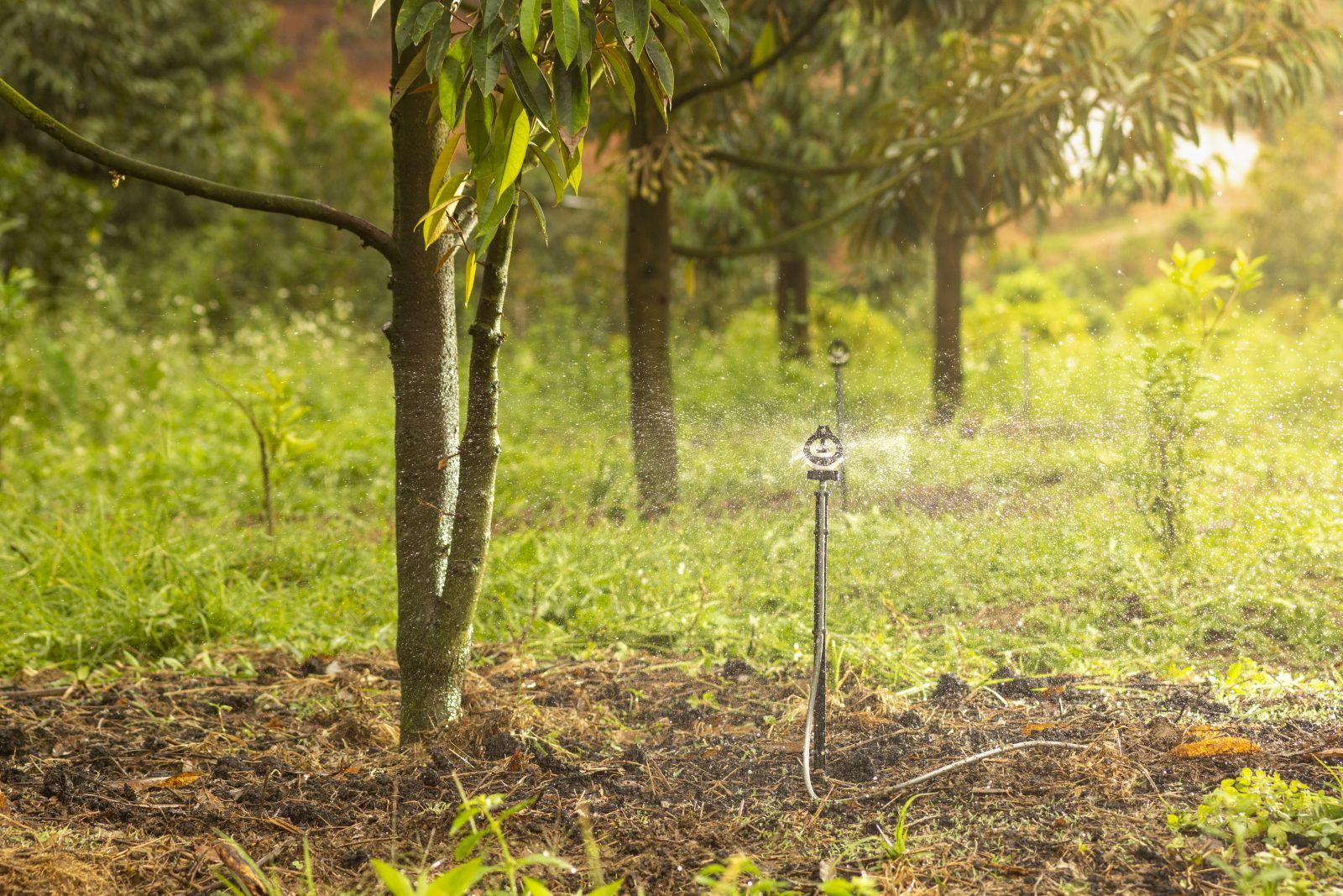 Béc BSSUPER tưới cho cây sầu riêng hơn 1 năm tuổi