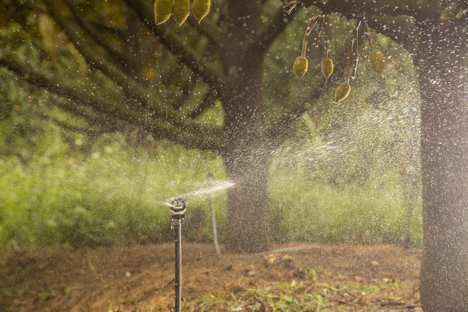 Béc tưới bù áp BSSUPER tưới cho cây sầu riêng